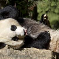 Photo - FILE - In this Oct. 11, 2012, file photo Mei Xiang, a giant female panda, rests at the National Zoo in Washington. Mei Xiang gave birth to a cub at the Smithsonian's National Zoo 5:32 p.m. EDT on Friday, Aug. 23, 2013. Zoo keepers heard the cub vocalize and glimpsed the cub for the first time briefly immediately after the birth. Mei Xiang picked the cub up immediately and began cradling and caring for it.(AP Photo/Jacquelyn Martin, File)