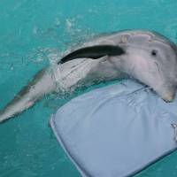 """Photo - FILE - In this July 26, 2007 file photo, Winter,  a tailless dolphin, rests on her mat at the Clearwater Marine Aquarium in Clearwater, Fla. The Clearwater Marine Aquarium was heavily featured in the 2011 film """"Dolphin Tale,"""" which told a fictionalized account of Winter the dolphin. The film reached audiences world wide and brought thousands of visitors to the aquarium.  The aquarium's story is one that Film Florida, a lobbying group for the state's entertainment industry, pushed recently when a delegation of filmmakers and others met with lawmakers in Tallahassee about extending the state's incentive program for luring movie and TV production. (AP Photo/Chris O'Meara, File)"""