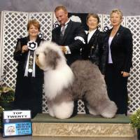 Photo - This September 2010 photo provided by Old English Sheepdog Club of America shows English Sheepdog, Georgie Girl, in the top twenty at an Old English Sheepdog of America competition. Breeders in the United States and England are concerned about the drop in the number of purebred sheepdog puppies registered in the two countries each year, as more owners choose smaller dogs like pocket pets and designer puppies. (AP Photo/Old English Sheepdog Club of America, J.C. Photography)