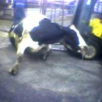 Photo - FILE - In this April 22, 2010 file image from video provided by the United States Humane Society, a Hallmark Meat Packing slaughter plant worker is shown attempting to force a
