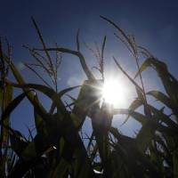 Photo - In this Aug. 28, 2013, photo the sun shines through corn growing in a field near Oregon, Mo. A growing season that began unusually wet and cold in the Midwest is finishing hot and dry, renewing worries of drought and the impact it may have on crops according to the weekly U.S. Drought Monitor report released Thursday, Aug. 29, 2013, by the University of Nebraska at Lincoln. (AP Photo/Orlin Wagner)