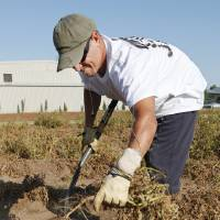 Photo - Oklahoma County inmate Chuck Cook, of Purcell, harvests potatoes Friday from a field at the Oklahoma County sheriff's substation in Midwest City. PHOTO BY PAUL B. SOUTHERLAND, THE OKLAHOMAN  PAUL B. SOUTHERLAND - PAUL B. SOUTHERLAND