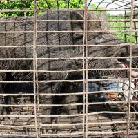 Photo - In this April 30, 2012 photo provided by trapperjohnschmidt.com, a feral hog caught by trapper John Schmidt is caged in New Orleans. An estimated 5 million swine, descendants of both escaped domestic pigs and wild Eurasian boars imported by hunters, do about $800 million in damage a year to farms nationwide. Damage outside farms and population control bring the annual total to $1.5 billion. (AP Photo/trapperjohnschmidt.com, John Schmidt)