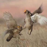 Photo - Male prairie chickens start fighting to try and impress a hen. Birders from across the country and Canada are in northwest Oklahoma this weekend to watch the annual courtship rituals of the lesser prairie chicken.  PHOTO PROVIDED BY LARRY BROWN ORG XMIT: 0904172216521582 ORG XMIT: THBO4O1