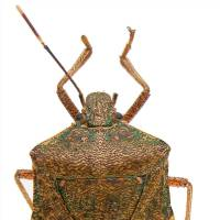 Photo - INSECT: The stink bug produces a foul odor when disturbed. It can be green or brown and can be a problem in tomato plants. ORG XMIT: 0807231547423582