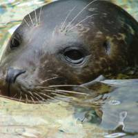 Photo - DEATH: Brindle, a harbor seal, died in 2007 of poisoning from coins in her stomach.  PHOTO PROVIDED       ORG XMIT: 1008032225195875