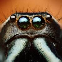 Photo - Adult male jumping spider (Paraphidippus aurantius). Gaze into the eyes of a condemned man. Moments after Shahan took the five photos that were focus-stacked to create this single image, the jumping spider was attacked and killed by a female of the species.