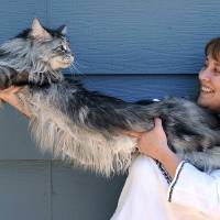 Photo - FILE - In this file photo taken July 1, 2009, Robin Henderson stretches out her Maine Coon cat Stewie outside of her home in Reno, Nev. The Reno owner of the longest domestic cat in the world says Stewie died Monday, Feb. 4, 2013 after a yearlong battle with cancer.  Guinness World Records declared Stewie the record-holder in August 2010, measuring 48.5 inches from the tip of his nose to the tip of his tail.  (AP Photo/Reno Gazette-Journal, Andy Barron)