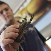 Photo - CORRECTS THE DATE In this photo taken Thursday, Jan.  24, 2013 an unidentified man holds a red claw crayfish at a local fish shop in Harare, Zimbabwe. Scientists in Zimbabwe say a fresh water crayfish brought from Australia is breeding out of control in the northern Lake Kariba, devouring the food sources of other fish and putting the nation's entire aquatic ecosystem at risk.  Officials at the Zimbabwe University lakeshore research station say the red claw crayfish, introduced a decade ago for a fish farming project, has no natural predators in the wild crocodiles don't like them and they produce clusters of eggs up to half the size of a tennis ball that hatch prolifically. (AP Photo/Tsvangirayi Mukwazhi)