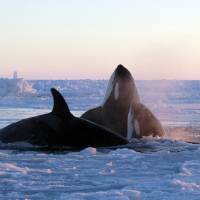 Photo - In this Tuesday, Jan. 8, 2013 photo provided by Marina Lacasse, killer whales surface through a small hole in the ice near Inukjuak, in Northern Quebec. Mayor Peter Inukpuk urged the Canadian government Wednesday to send an icebreaker as soon as possible to crack open the ice and help the pod of about a dozen orcas find open water. The Department of Fisheries and Oceans said it is sending officials to assess the situation. (AP Photo/The Canadian Press, Marina Lacasse) MANDATORY CREDIT