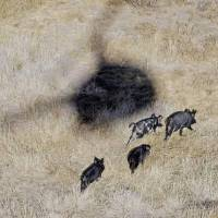 Photo - The shadow of Kyle Lange's helicopter hovers over feral pigs near Mertzon, Texas. AP PHOTO
