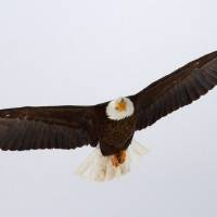 Photo - FILE - In this undated photo released by the Utah Division of Wildlife Resources, a bald eagle files in Utah. Proponents credit the Endangered Species Act with staving off extinction for hundreds of species, from the bald eagle and American alligator to the gray whale, but Republicans in Congress say the 40-year-old law meant to protect animals and plants from extinction has become bogged down by litigation and needs to be updated. (AP Photo/Utah Division of Wildlife Resources, Lynn Chamberlain)