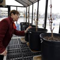 Photo - In this Monday, March 18, 2013 photo, Mary Fortney, learning resource development manager at the Indianapolis Children's Museum, looks over chestnut saplings from the tree outside Anne Frank's hiding spot in Amsterdam being cared for in the museum's greenhouse in Indianapolis. Eleven saplings grown from seeds taken from the massive chestnut tree that stood outside the home in which Frank and her family hid are being distributed to museums, schools, parks and Holocaust remembrance centers through a project led by The Anne Frank Center USA. (AP Photo/Michael Conroy)