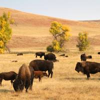 Photo -   Buffalo recline on prairie land in Custer State Park on Sunday, Sept. 23, 2012, the day before nearly 1,300 buffalo are to be corralled by about 60 men and women on horseback at the 47th annual Buffalo Roundup in western South Dakota. More than 12,000 spectators were expected to descend on the area for the Monday herding. (AP Photo/Kristi Eaton)