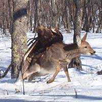 Photo - In this photo taken from a remote camera at the Lazovsky State Nature Reserve in the Primorye region of Russia's Far East on Dec. 8, 2011, a golden eagle attacks a deer. Remote cameras set up to track Siberian tigers in Russia have caught a golden eagle attack on a sika deer, snapping three photos as the massive bird digs its talons into the distressed animal's back. Golden eagles typically eat small birds or mammals, but they've also been known to target deer. It's rare for a camera to catch such an attack in progress. (AP Photo/The Zoological Society of London)