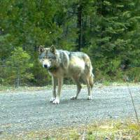 Photo - FILE - This remote camera photo taken May 3, 2014 and provided by the U.S. Fish and Wildlife Service shows the wolf OR-7 in southwest Oregon's Cascade Range. The conservation group Oregon Wild has filed a lawsuit challenging a timber sale on the Rogue River-Siskiyou National Forest in southwest Oregon, arguing it may be too close to the den where OR-7 and a mate are raising pups. (AP Photo/USFWS)