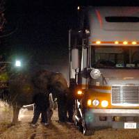 Photo - ESCAPE / COLLISION: An elephant that escaped from the Family Fun Circus at the Garfield County Fairgrounds after being spooked caused a vehicle accident Wednesday night, Nov. 4, 2009 as it ran along North the U.S. 81 bypass in Enid, Okla. According to Enid Police Department Sgt. Billy Varney, the couple in the vehicle were not injured. The elephant suffered a broken tusk, a hurt leg and bumps, bruises and scratches, he said.  (AP Photo/Enid News & Eagle, Billy Hefton) ORG XMIT: OKENI101