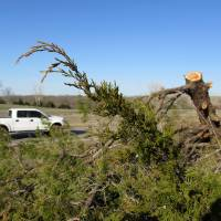 Photo - Eastern red cedars, which are a fire hazard and compete for water resources, have been cut down and stacked on Oklahoma State University land in Stillwater.