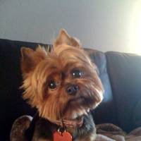 Photo - PET TALES / DOG: 7-year-old Yorkie named Bella	ORG XMIT: 0906241603575086