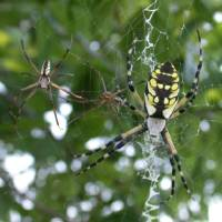 Photo - Seen here, three black and yellow garden spiders (aka zipper spiders) on a web demonstrate the major differences in sizes between the males (two small spiders on left) and the females (the large spider on the right).She is almost 2 inches long. PHOTO BY RICHARD GRANTHAM
