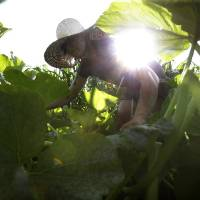 Photo - In this Tuesday, Aug. 5, 2014 photo, farmer Katie Miller, 32, of Providence, R.I., harvests zephyr squash at Scratch Farm in Cranston, R.I. Across New England, the number of farms grew by 5 percent since 2007, contrary to the national trend. (AP Photo/Steven Senne)