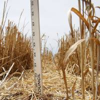 Photo - A yardstick stuck in a crack on June 3, went 20 inches deep in a wheat field of David Gammill's near Faxon. Since, about 2.5 inches of rain has fallen in this particular area, after the start of harvest.   David McDaniel - The Oklahoman