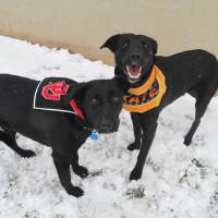 "Photo - Sassy and Ariel are 1-year-old Labrador mixes. They are housebroken, and they like dogs and kids. Their Oklahoma City Animal Shelter numbers are 108812 and 108811. The ""Furever Love"" adoption event continues through Monday. The adoption fee for dogs and cats — including puppies and kittens — is only $25. The fee includes spay or neuter, shots and health check. The shelter is at 2811 SE 29. For more information, go online to www.okc.petfinder.com or www.okc.gov. PHOTO PROVIDED"