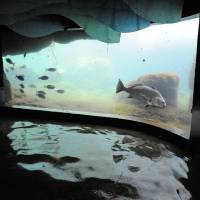 Photo -   In this Nov. 1, 2012 photo provided by the Wildlife Conservation Society a black drum fish at Coney Island's New York Aquarium swims in the water of the