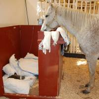 Photo - A mare looks over a sick foal in a barn at Oklahoma State University. A new Equine Critical Care Unit will allow horses to be in a special area that allows for segregation. - PHOTO PROVIDED BY OSU 