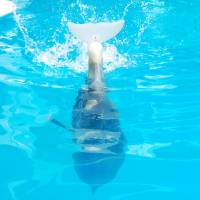 Photo - Winter is a dolphin who lost her tail when she was trapped in a crab trap. She received a specially made prosthetic leg designed by Hanger Clinic. Photo provided.