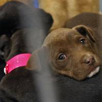 Photo - Puppies await adoption Friday at the Oklahoma City Animal Shelter. The shelter is holding a Valentine's Day special with half-price adoptions all week and special activities Sunday.  CHRIS LANDSBERGER - The Oklahoman