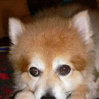 Photo - A reward is being offered for the return of Pumpkin, a male Pomeranian mix, with apparant nerve damage to his front left paw. Provided. ORG XMIT: KOD