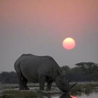 Photo -  A black rhino arrives early to a night time gathering of his species at a secret waterhole. The incidence of poaching of black rhino has risen to shocking levels in the last 5 years, so the Africa crew captured this unique behaviour for the first, and possibly the last time. Photo Credit: Credit: Discovery Channel/BBC/Paul Brehem