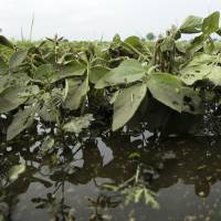 Photo - Soybean plants sit in a flooded field farm field, Monday, June 30, 2014, near Dallas Center, Iowa. The U.S. Department of Agriculture, in a report released Monday, says farmers are planting the smallest corn crop since 2010 but as expected have planted the largest soybean crop on record. (AP Photo/Charlie Neibergall)