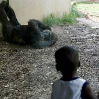 Photo - Tevin Fountain, 3, of Midwest City watches a gorilla during taxpayer appreciation day at the Oklahoma City Zoo, Friday, July 17, 2009, in Oklahoma City. Photo by Sarah Phipps,The Oklahoman   ORG XMIT: KOD