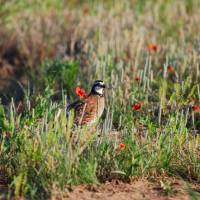 Photo - The work to restore the bobwhite quail population in Oklahoma has earned Laura McIver, president of the Central Oklahoma 89ers chapter of Quail Forever, a nomination for the 2013 Hero of Conservation award by Field & Stream magazine.  PROVIDED - Photo provided by Oklahoma Depar