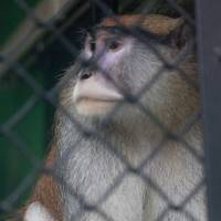 Photo -   A Patas monkey looks out of his cage at Zoo Boise after his cage mate was severely injured and died in Boise, Idaho on Saturday, Nov. 17, 2012. Police are investing an early monring break-in at at the zoo. The injured monkey was found shortly after suspects were spotted and ran off. (AP Photo/The Idaho Statesman, Katherine Jones)