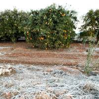 Photo - Frost in an orange grove east of Clovis, Calif., is shown Saturday after freezing temperatures. AP Photo