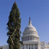 Photo -   Workers erect the 2012 Capitol Christmas Tree, a 73-foot Engelmann Spruce from the White River National Forest, near Meeker, Colo., Monday, Nov. 26, 2012, on Capitol Hill in Washington. The 74-year-old tree will decorated with more than 5,000 handmade ornaments and will be illuminated on Dec. 4, 2012. (AP Photo/J. Scott Applewhite)