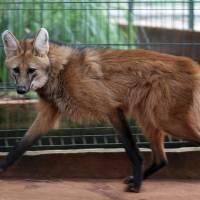Photo -   In this Nov. 13, 2012 photo, a lobo-guara, also known as a maned wolf, walks in the Jardim Zoo in Brasilia, Brazil. Brazilian researchers are turning to cloning to help fight the perilous decline of several animal species. The scientists at Brazil's Embrapa agriculture research agency said this week they have spent two years building a gene library with hundreds of samples from eight native species, including the collared anteater, the bush dog, the black lion tamarin, the coati, and deer and bison varieties, as well as the leopard and the maned wolf, according to team leader Carlos Frederico Martins. (AP Photo/Eraldo Peres)