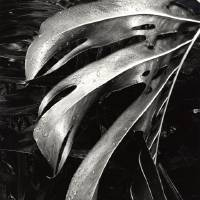 """Photo -  Photographer Brett Weston's 1985 work """"Untitled [leaves, Hawaii]"""" is featured in the new exhibit """"Brett Weston: Land, Sea and Sky — Recent Gifts from the Christian K. Keesee Collection,"""" opening Saturday at the Oklahoma City Museum of Art. Photo provided by the Brett Weston Archive"""