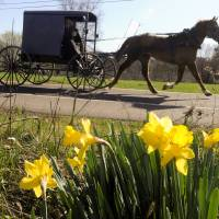 Photo -   FILE - This March 27, 2012 file photo shows an Amish buggy passing a bunch of daffodils along Route 44 in Madison Township near White Hall, Pa. The harvest season is nearing its glorious end, and the culture, architecture and history of Pennsylvania's Amish country can be seen for free in Lancaster County, where many Amish settled, starting in the early 1700s. (AP Photo/Bloomsburg Press Enterprise, Jimmy May, file)
