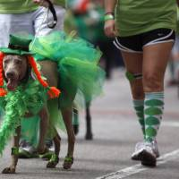 Photo - A dog walks in the St. Patrick's Day Parade in Oklahoma City, Saturday, March 17, 2012. Photo by Sarah Phipps, The Oklahoman.