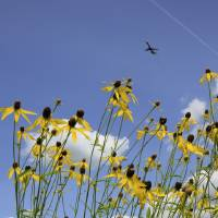 Photo -  An airplane takes off from Dayton International Airport, passing over one of the airport's prairies in Vandalia, Ohio.  AP Photo   Skip Peterson -  AP