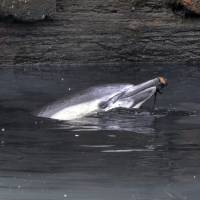Photo - ADDS THAT THE DOLPHIN HAS DIED - A dolphin surfaces in the Gowanus Canal in the Brooklyn borough of New York,  Friday, Jan. 25, 2013. The New York City Police Dept. said animal experts were waiting to see if the dolphin would leave on its own during the evening's high tide. A wayward dolphin that meandered into a polluted urban canal, riveting onlookers as it splashed around in the filthy water and shook black gunk from its snout, died Friday evening, marine experts said. (AP Photo/Richard Drew)