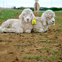 Photo -  Two Angora kids, each only a few days old, doze off to sleep while their mother keeps watch from afar.    Paris Burris