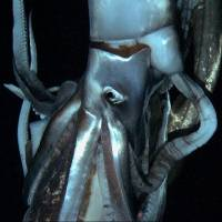 Photo - In this television image made from video recorded in the summer of 2012 provided by NHK and Discovery Channel, a giant squid swims in the deep sea off Chichi island, Japan. (AP Photo/ NHK/NEP/Discovery Channel ) EDITORIAL USE ONLY, MANDATORY CREDIT