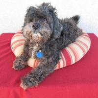 Photo - Gizsmo is a friendly 10-year-old shih tzu and poodle mix. His Oklahoma City Animal Shelter number is 132891. All pets 4 years and older have a $25 adoption fee. This includes spay or neuter, shots and health check. The shelter is at 2811 SE 29. PHOTO PROVIDED
