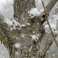 Photo - Snow collects on a tree in Edmond, OK, Friday, December 28, 2012, By Paul Hellstern