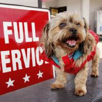 Photo - Sadie, part Shih Tzu and Yorkie, poses in her winter coat at Paul's Conoco.  Photo by Paul B. Southerland, The Oklahoman  PAUL B. SOUTHERLAND